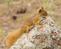 American req squirrel on lichen-covered rock stock image