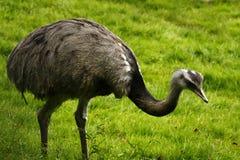 American Rhea. Rhea's are flightless ground birds, native to South America Stock Image
