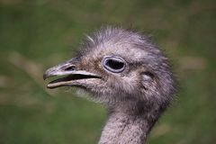 American rheas head Stock Photography