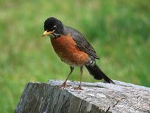 American Robin. A Robin hunts for a meal stock photos