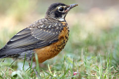 American Robin. Closeup of an American Robin Juvenile against a blurred background Stock Photography