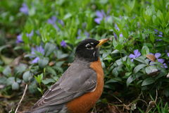 American robin. (Turdus migratorius) in blue flowerbed, Central Park, New York royalty free stock photo