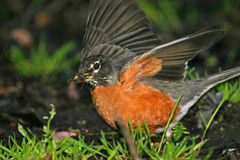 American robin. (Turdus migratorius) flapping wings in grass, Central Park, NY royalty free stock photo