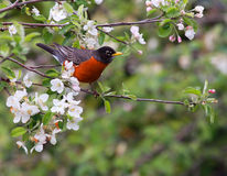 American robin. Bird perched in blooming apple tree Stock Image
