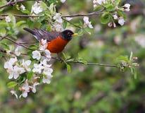 American robin Stock Image