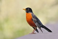 Free American Robin Stock Photo - 19528730