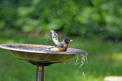Free American Robin Royalty Free Stock Images - 20063169