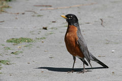 American Robin. This is one tall and proud standing red breasted robin casting a long shadow Royalty Free Stock Image