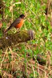 American Robin. The American Robin is a migratory songbird belonging to the thrush family. This one was found at the Bob Heirman Wildlife Preserve at Thomas stock images