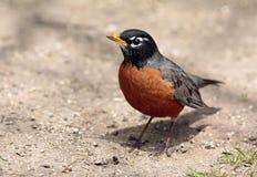 American Robin. (Turdus migratorius) migratory songbird of the thrush family Royalty Free Stock Image