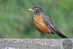 American Robin. A portrait of the familiar American Robin Royalty Free Stock Image