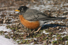 American Robin. A robin during the winter Royalty Free Stock Photos