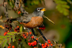 Free American Robin Stock Images - 45757494