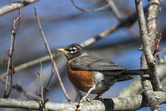 American Robin. Southern illinois. Canon 20D Stock Image