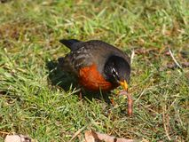 American Robin. A Robin finds a worm Stock Photography