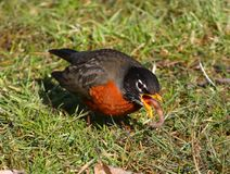 American Robin. A Robin finds a worm Stock Photo