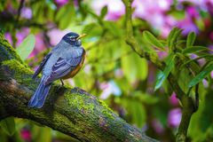 American Robin. An American Robin sits perched on a tree limb a sign of spring stock photos