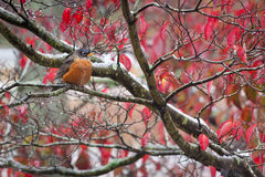 An American Robin in Autumn Royalty Free Stock Photography