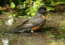American Robin Bathing. A robin taking a bath in a park spring Stock Photo
