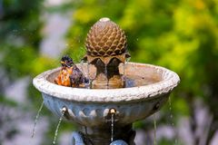American Robin Bathing in Garden Water Fountain Royalty Free Stock Photography