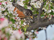 American Robin. A beautiful American Robin is building nest into a cappable blossom tree stock image