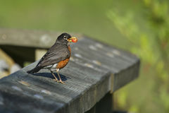 American Robin with berry. American Robin (Turdus migratorius) holding a red berry in its mouth Royalty Free Stock Photos