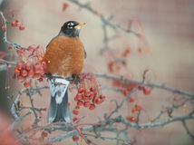 American robin in berry tree Royalty Free Stock Images