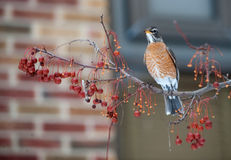 American robin in berry tree Stock Photos