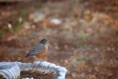 American Robin. On bird bath Stock Photo