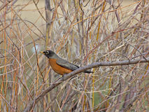 American Robin Bird On Branch. An American Robin bird (Turdus migratorius ) sitting on a branch in daylight stock photos