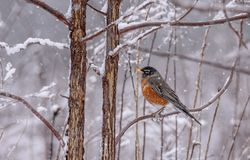 American Robin Bird in falling snow