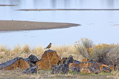 American Robin Bird On Rock Pile. An American Robin bird (Turdus migratorius) singing on a rock pile at a lake royalty free stock photo