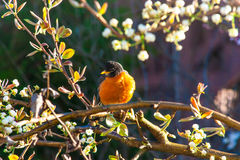 American robin bird on a tree at spring. Stock Photo