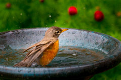 American Robin Bird - Turdus Migratorius taking a bath. Young Robin Bird (Turdus Migratorius) bathing, splashing in a bird bath Stock Photo