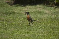 American Robin Bird with worms in mouth hops on green grass lawn stock photo