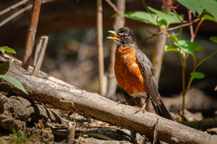 American robin on a branch Stock Photos