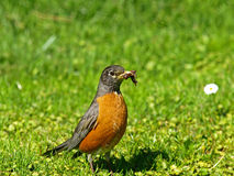 American Robin Catching Earthworms Royalty Free Stock Images