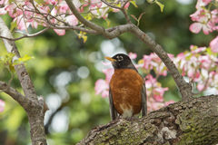 American robin on cherry blossom background Stock Photography