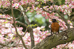 American robin on cherry blossom background Royalty Free Stock Image