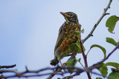 American Robin Chick Royalty Free Stock Photo