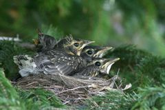 American Robin Chicks. A nest of American robin chicks in a spruce tree in Littlefork, MN Royalty Free Stock Photography