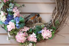 American robin chicks in wreath nest being fed. This American robin has built its nest in a Christmas wreath. It continuously finds and brings worms for her four Stock Photo