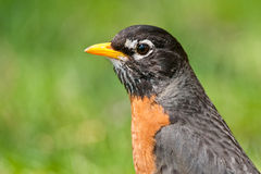 American Robin Stock Photos