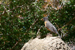 American Robin with crickets in beak Stock Images