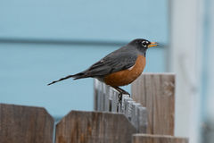 American Robin. An american robin early spring Stock Photography