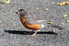American Robin Eating Berry Stock Photo