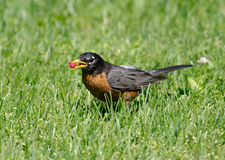 American robin eating berry Stock Photography