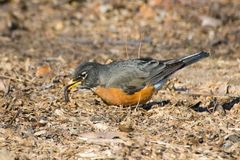 American Robin eating a worm Royalty Free Stock Photography