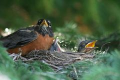 American Robin Family. A nest of very young American robin chicks with their mother in a spruce tree in Littlefork, MN Royalty Free Stock Photo