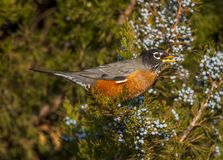 American Robin Feasting in Juniper Tree. An American Robin feasts on juniper berries during the last hours of a Colorado winter day Royalty Free Stock Photos